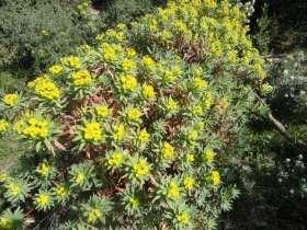 3Caps_Euphorbia