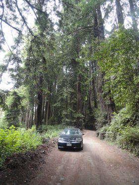 Onder de Redwoods