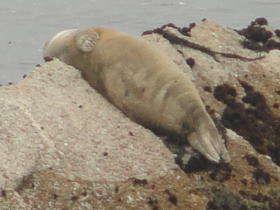 Pacific Grove - zeehonden