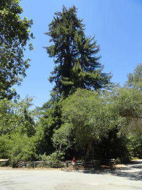 Pfeiffer Big Sur - Colonial Tree
