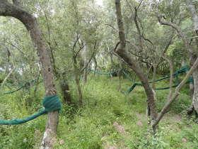 olijfboomgaarden