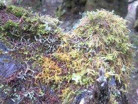 Mossen in het regenwoud op La Gomera